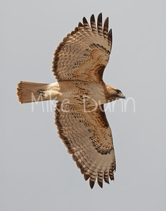 Red Tailed Hawk-139