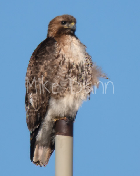Red Tailed Hawk-38