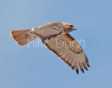 Red Tailed Hawk-138