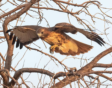 Red Tailed Hawk-158