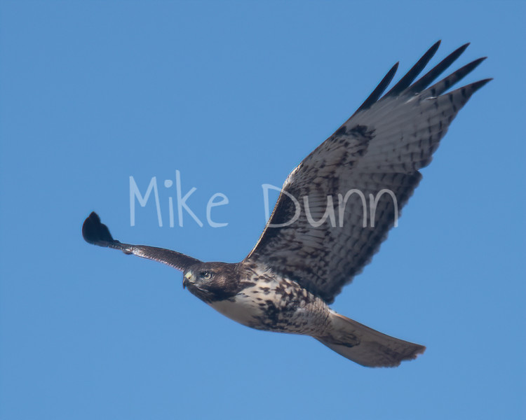 Red Tailed Hawk-104