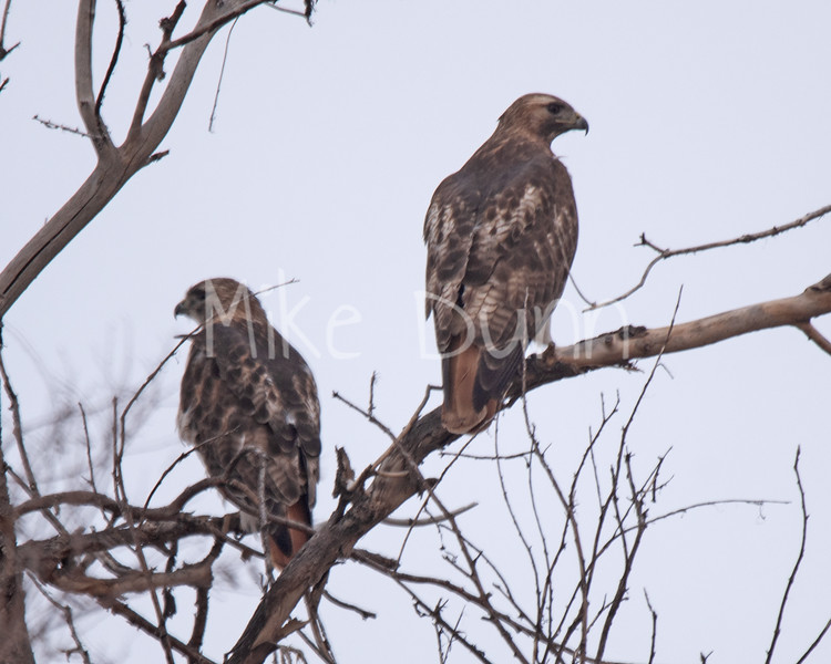 Red Tailed Hawk-52