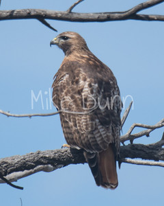 Red Tailed Hawk-49