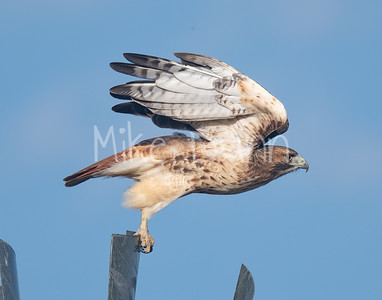 Red Tailed Hawk-127