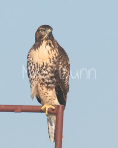 Red Tailed Hawk-89