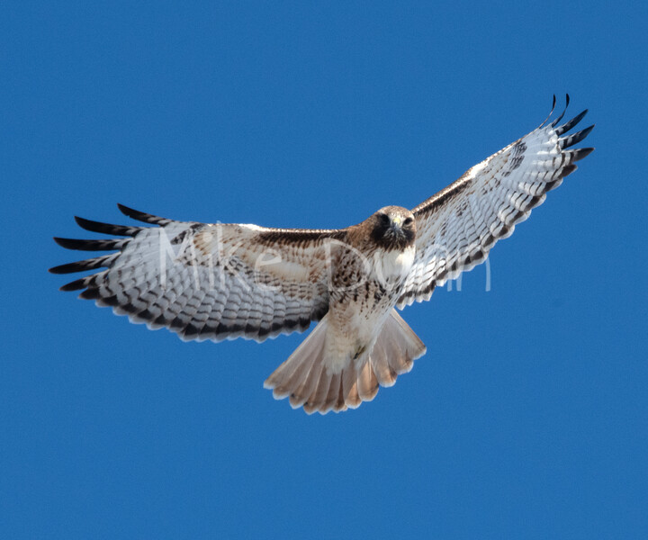 Red Tailed Hawk-12