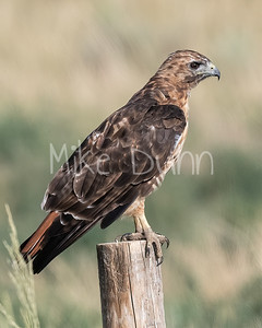 Red Tailed Hawk-150