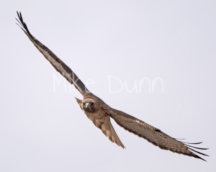 Red Tailed Hawk-40