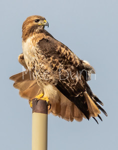 Red Tailed Hawk-105