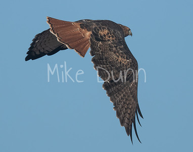 Red Tailed Hawk-120
