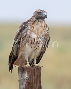 Red Tailed Hawk-152