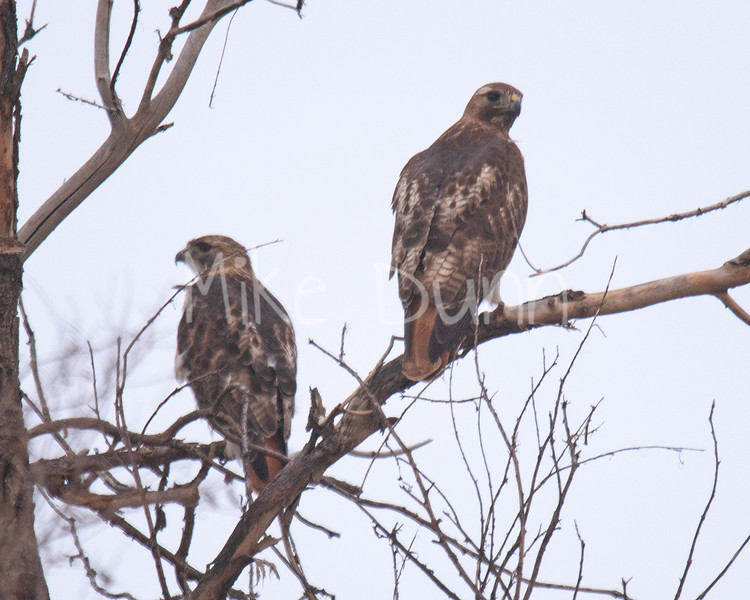 Red Tailed Hawk-50
