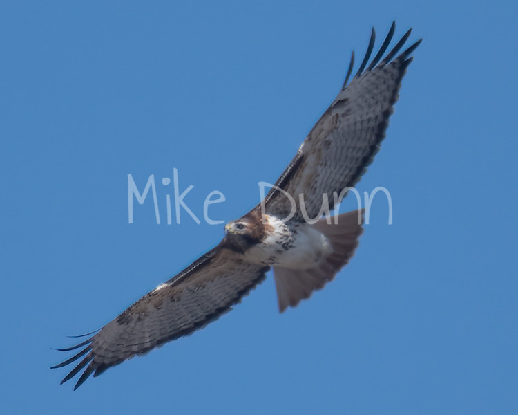 Red Tailed Hawk-45