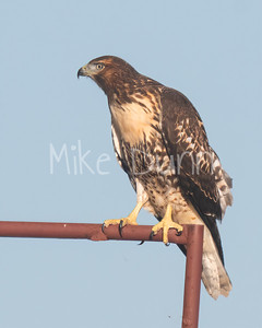 Red Tailed Hawk-88