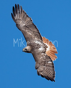 Red Tailed Hawk-143