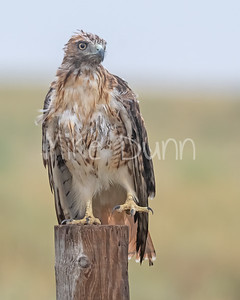 Red Tailed Hawk-153