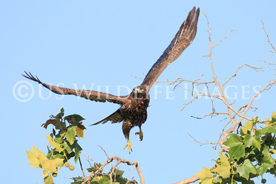 Dark Morph Red-Tailed Hawk