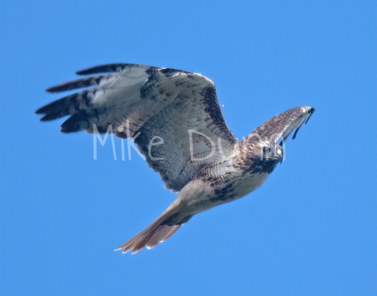 Red Tailed Hawk-98