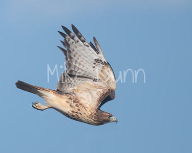 Red Tailed Hawk-126