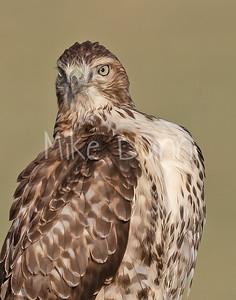 Red Tailed Hawk-154