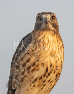 Red Tailed Hawk-124