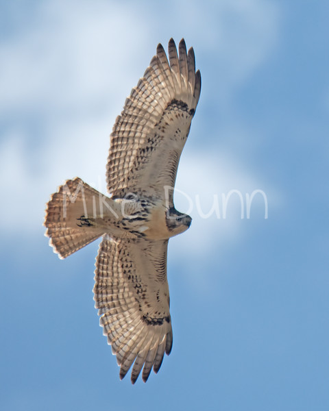 Red Tailed Hawk-92