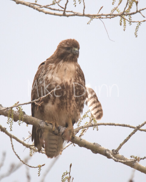 Red Tailed Hawk-74