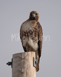 Red Tailed Hawk-53