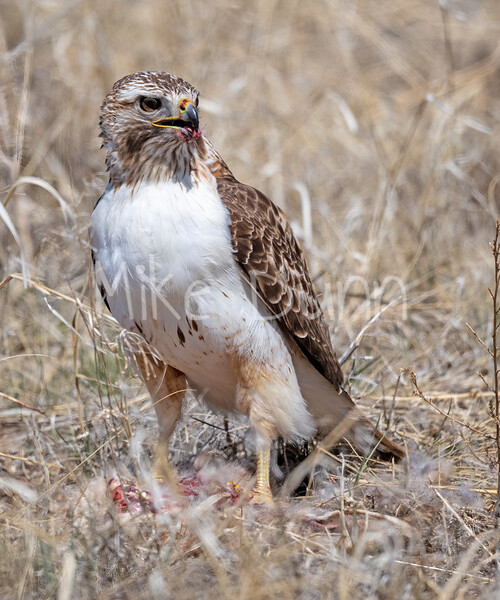 Red Tailed Hawk-135