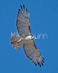 Red Tailed Hawk-122