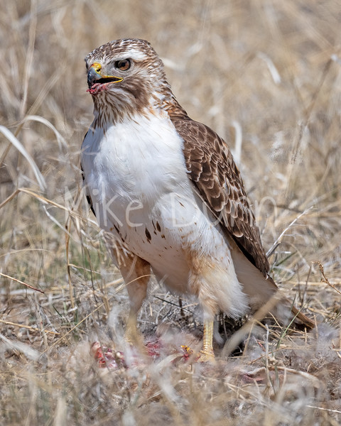 Red Tailed Hawk-134