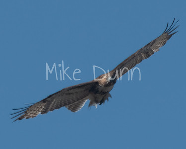 Red Tailed Hawk-70
