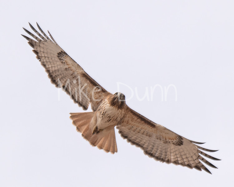 Red Tailed Hawk-24