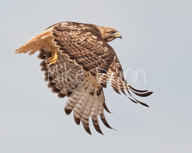 Red Tailed Hawk-108