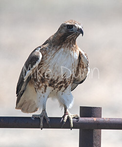 Red Tailed Hawk-72