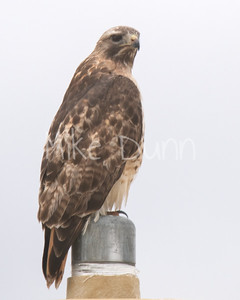 Red Tailed Hawk-61