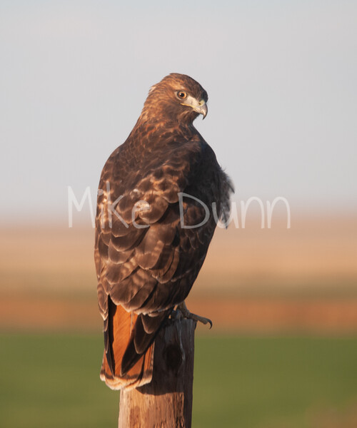 Red Tailed Hawk-11