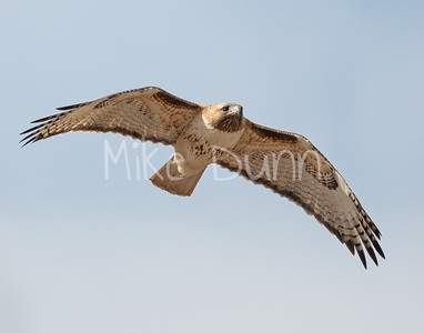 Red Tailed Hawk-136