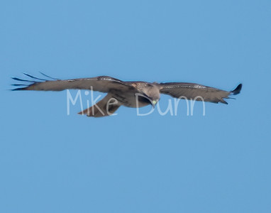Red Tailed Hawk-56