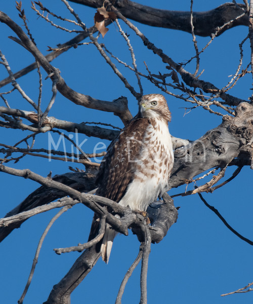 Red Tailed Hawk-6