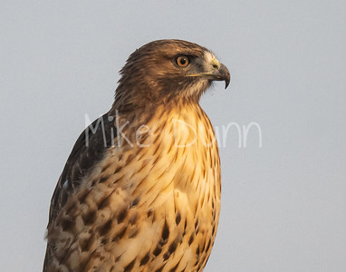 Red Tailed Hawk-125