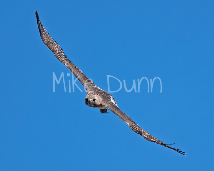Red Tailed Hawk-142