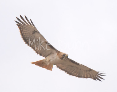 Red Tailed Hawk-63