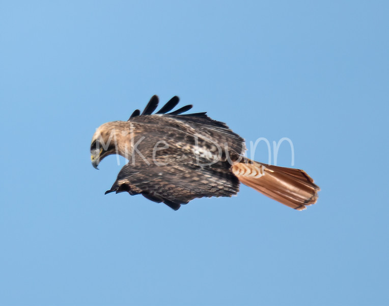 Red Tailed Hawk-36
