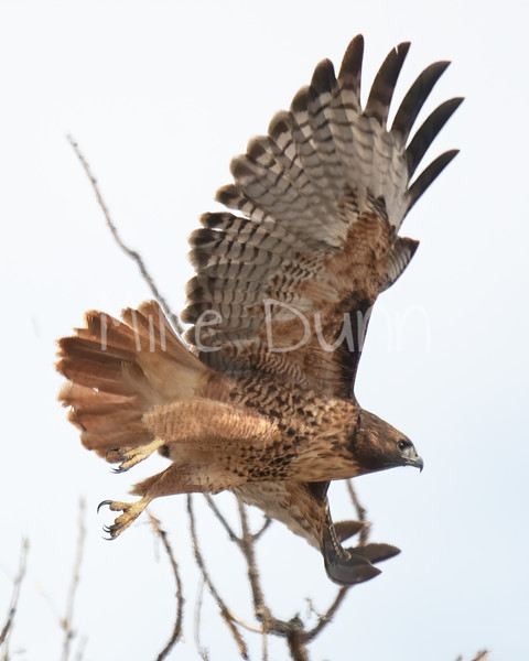 Red Tailed Hawk-103