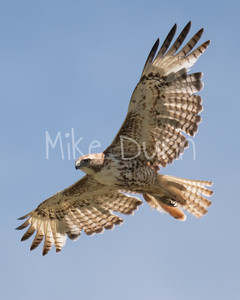 Red Tailed Hawk-84