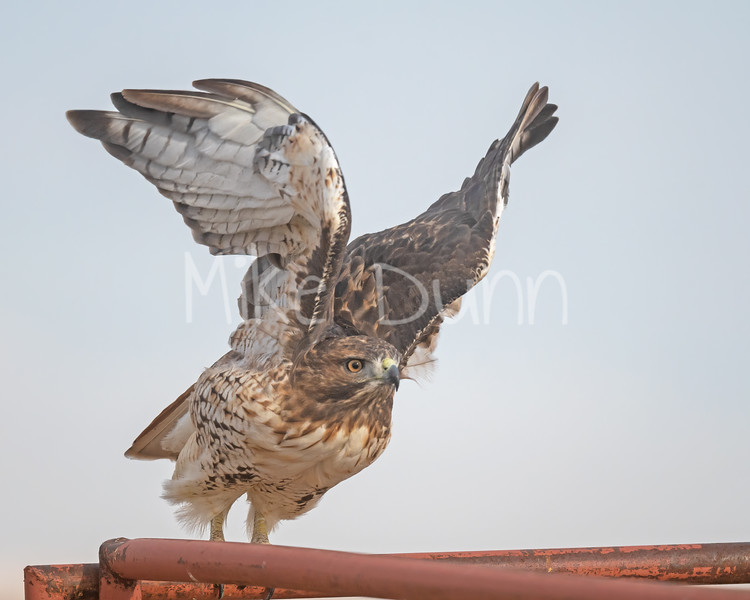 Red Tailed Hawk-133