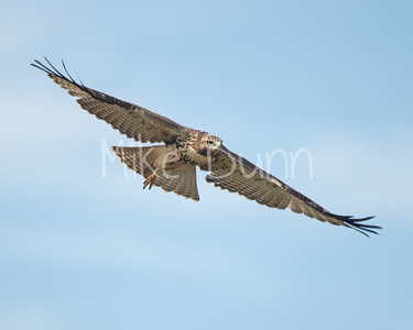 Red Tailed Hawk-101