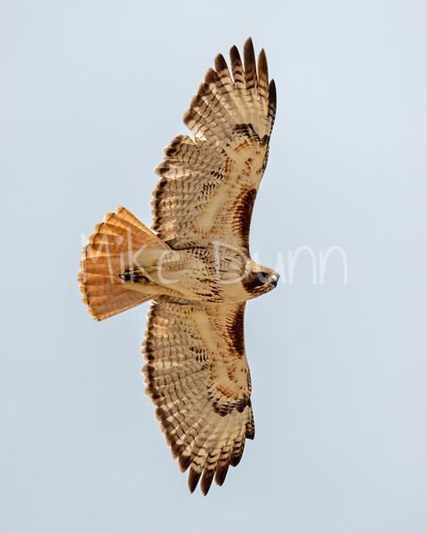 Red Tailed Hawk-141