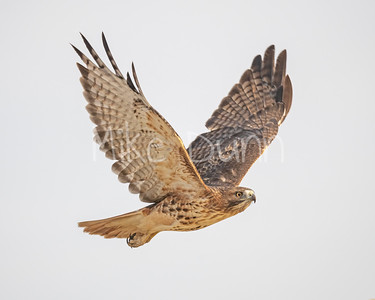Red Tailed Hawk-130